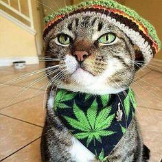 #Rasta #Cat #RastaCat #Cannabis #Cats #CannabisCat  #YesWecannabis