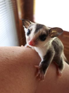 Sugar Glider Baby, Sugar Gliders, Super Cute Animals, Cute Funny Animals, Guinea Pig Toys, Guinea Pigs, Japanese Dwarf Flying Squirrel, Animals And Pets, Baby Animals