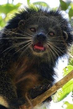 The Binturong (Arctictis binturong), also known as the Asian Bearcat, the Palawan Bearcat, or simply the Bearcat, is a species of the family Viverridae, which includes the civets and genets. It is neither a bear nor a cat, and the real meaning of the original name is lost, as the local language that gave it is extinct[3]. Its natural habitat is in trees of forest canopy in rainforest of Bangladesh, Bhutan, Burma, China, India, Indonesia, Laos, Malaysia, Nepal, the Philippines, Thailand, and…