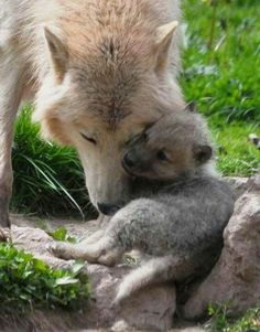 Wolf with pup - help save them from execution!