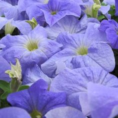 Buy Petunia Bravo Sky Blue Annual Plants Online. Garden Crossings Online Garden Center offers a large selection of Petunia Plants. Shop our Online Annual catalog today!