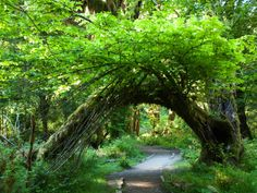 The Hall of Mosses is located inside the Hoh Rainforest at Olympic National Park.