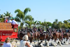 We were so lucky to be there when the Clydesdale made there visit. What a beautiful process to harness these amazing horses to the wagon and watching them parade throught he main streets. Bradenton Beach, Indian Shores, Anna Maria Island, Anna Marias, Clydesdale, Main Street, Horses, Vacation, Amazing