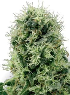 Pure Power Plant Feminized is an is an all-female strain which means it will produce only female plants. I love feminized hemp strains as there's no need to remove male plants and thus makes growing even easier. #hempseedsforgrowing #growhemp