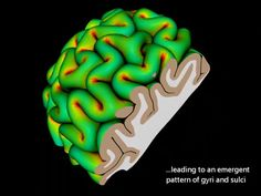 A team led by Wyss Institute Core Faculty member L. Mahadevan used numerical simulations and answered an age-old question that has vexed scientists for years: how did the outer layer of the mammalian brain (gray matter) become so convoluted atop the brain's inner white matter? It turns out that at the heart of the brain matter is a relatively simple mechanical instability whereby the gray matter is constrained by the white matter, which leads to the characteristic folds and crevasses
