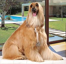 Afghan Hound - Oldest sighthound dog breeds - cold mountains of Afghanistan