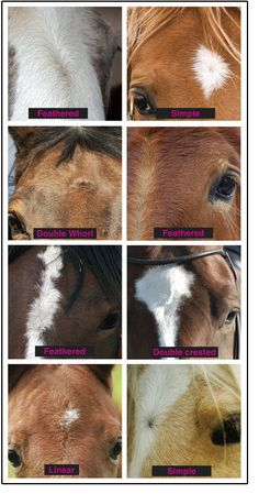 Significance of a horse's whorl! Beaudoin legends- pretty interesting! :) #Arabians #Education