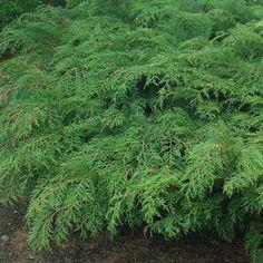 Microbiota decussata Russian Cypress from Prides Corner Farms