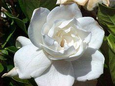 Gardenia Body Scrub Sugar or Sea Salt Body by CedarCreekSoaps1, $9.75