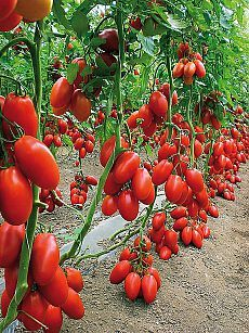 """ВМЕСТО """"БАЙКАЛА"""" !!! **Подкормка томатов - урожай  отменный! Кусты томатов мощные, на плодах нет ожогов,  легко переносят жару и любую непогоду..."""