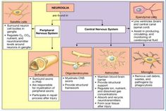 glial-cells-neurobiology-and-clinical-aspects-38-638.jpg (638×426)