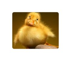 Beautiful Animal Mouse Baby Duck