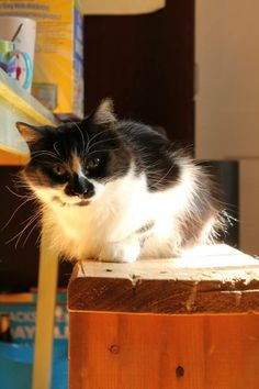 AVAILABLE FOR ADOPTION #Montreal: LUCKY!  Lucky the very fluffy young cat with unusual markings is seen here on a favourite perch. Lucky is super weird and quirky. Likes being brushed and petted, generally very calm. Plays with string and sticks her tongue out a lot without realizing. She is also very quiet and does not meow often, like she will move her mouth but nothing will come out. She is also playful and accepts the company of other cats.  www.facebook.com/cause4paws