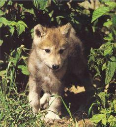ANIMALS: wolves wolfs