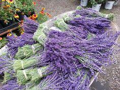 Fresh cut 'Royal Velvet' lavender bundles at Scented Acres Lavender Farm.
