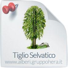 Tiglio Selvatico - Elimina la bolletta, regala un albero - Gruppo Hera