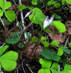 Sauerklee, Wald_aufgehende Blüten