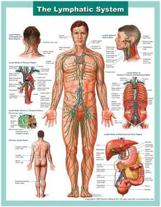 This medical illustration series depicts the anatomy of the lymphatic system. This medical chart illustrates the components of the lymphatic system, including all major lymph nodes and channels. Lymphatic Massage, Lymphatic System, Anatomy And Physiology, Alternative Health, Alternative News, Human Anatomy, Anatomy Drawing, Massage Therapy, Physical Therapy