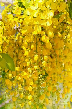 Cassia fistula known as the golden shower tree and by other names image of cascading golden shower tree flowers cassia fistula from placencia belize by aj baxter yellow mightylinksfo Gallery