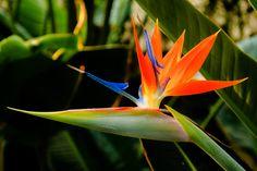 estrelicia / strelitzia / bico de papagaio / ave do paraiso - Google Search