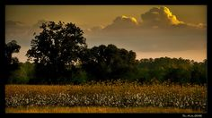 Cotton field at sunset...makes me miss home