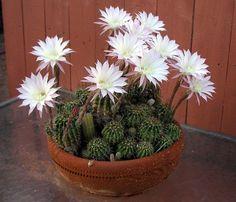 Originaria de Argentina, Paraguay, Bolivia y Uruguay la Echinopsis oxygona, que pertenece a la familia de la cactáceas se ha extendido por todo el mundo. La razón principal es que esta especie de c…