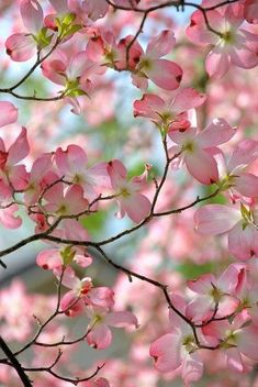 Beautiful pink dogwoods in bloom.  Reminds me of Non & Papa's old house growing up!