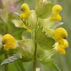 YELLOW RATTLE rhinanthus minor