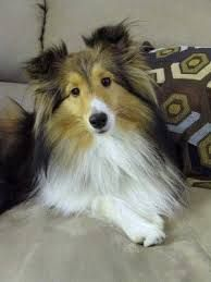 ~ NICE & CALM SHELTIE ~