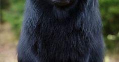 Dogspuppiesforsalecom liked | Lapphund sueca; simplemente impresionante - El Pastor lapón de Suecia es una raza de perro tipo Spitz. De origen sueco es una de las tres razas de pastor lapón desarrolladas desde un tipo de perro criado por el pueblo Sami para la caza y guarda de sus renos. Getting a dog or a puppy as a new addition to your family is an excellent decision! You're adding another member that can provide lots of love and enjoyment! This is a relationship you'd want to make sure…