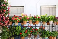 Flowering balconies and terraces Backyard, Patio, Plant Species, Plant Design, Flowers, Plants, Image, Balconies, Leo