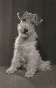 fox terrier   Flickr - Photo Sharing!