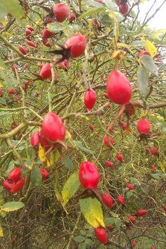 dzika róża owoce