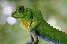Lyriocephalus scutatus #lizard