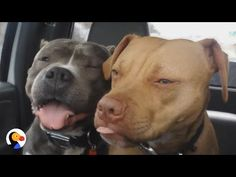 SWEETEST Pit Bull Labeled 'Dog Aggressive' | The Dodo - YouTube
