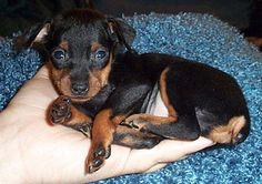 Miniature Pinscher puppy in hand