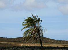 'The loneliness of the palmtree'  More photos on www.vise.pictures  #palmtree #naturebeauty #naturephotography #nature #lonely #solitary #lonetree #landscape #Lanzarote #canaryislands #islascanarias #naturaleza_canarias #LoveLanzarote #estoescanarias #EstoesLanzarote #pictures #topVISE