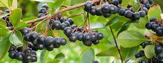 Iowa To Host North American Aronia Berry Festival