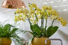 Gele Phalaenopsis orchidee #orchidsinfo