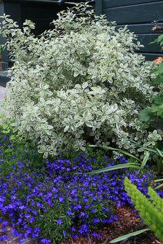 Pittosporum tenuifolium 'Marjorie Channon'