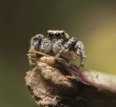 Jumping spider ::)