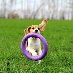 #puller #beagle #justbeagles #бигль