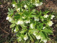 Weiße Lenzrose.