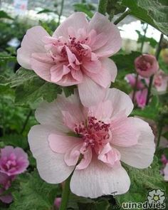 Alcea x Althaea 'Park Allee' en andere cultivars van deze doorlevende stokroos