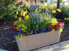 Rudbeckia-Prairie Sun, blue salvia, Gem yellow, blue lobelia, yellow Calibrachoa, red petunias, lime green ipomoea Starthcona County