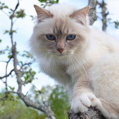 This boy I love him so much  #popcorn #poppylove #birma #birman #breeder #catsofinstagram #chokladochvanilj #pinkalicious #topcatphoto #happycatclub #welovecats #we_love_cats #excellent_cats #bestcats_oftheworld #birman_feature #birman_cats_lovers #birmancats #birmancat #birmavanner