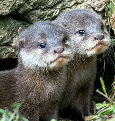 I want an otter now