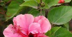 Resultado de imagen para rosa china arbol