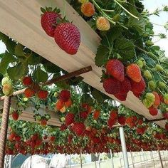 Strawberries in gutters. Saw a similar idea at Trevaskis Farm in Cornwall--strawberries growing out of organic soil bags placed along sawhorses. BRILLIANT way to eliminate ground rot and slug problems and make them easier to pick!