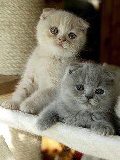 Scottish Fold kittens. Ah ha that little grey one!!!! <3